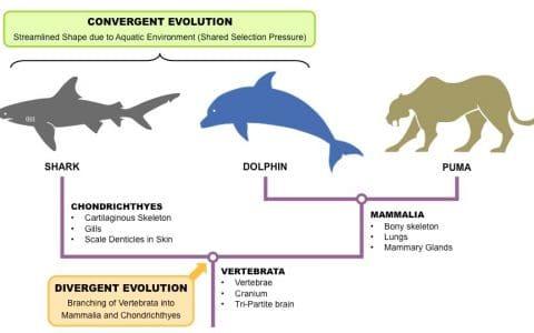Divergent and Convergent Evolution